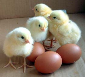 Chicks and the Eggs They Came From